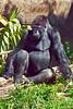 gorilla poses_004p