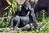 gorilla poses_002p