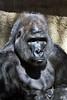 gorilla portraits_007