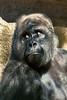 gorilla portraits_012