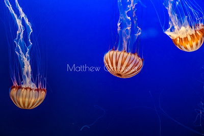 Jellyfish, sea jellies, sea jelly, sea nettles