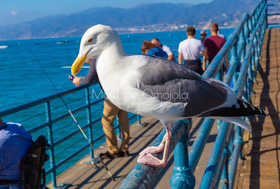A seagull perching on a handrail in Santa Monica Pier California. Large white bird with a strong beak, webbed feet.