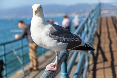 Seagull perching on a hand rail in Santa Monica Pier California. Large white bird with a strong beak, webbed feet.