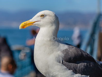 Close up head Wandering Albatross in Santa Monica Pier California. Large white bird with a strong beak, webbed feet.