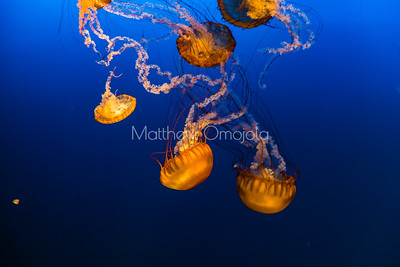 Jellyfish, sea jelly, jellies, sea nettles,