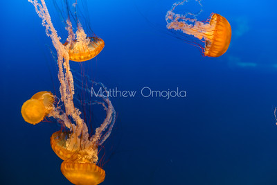Sea jellies, jellyfish, sea nettles, Henry Doorly Zoo Omaha Nebraska