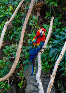 Red macaw parrot long tail beautiful bird.