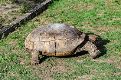 Hard shell tortoise as seen in LCC Lekki Lagos Nigeria