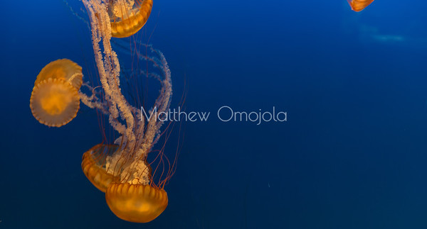 jellyfish, sea jelly, sea nettles,
