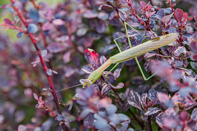 Mantis, praying mantis, green insect with triangular head and a long body.