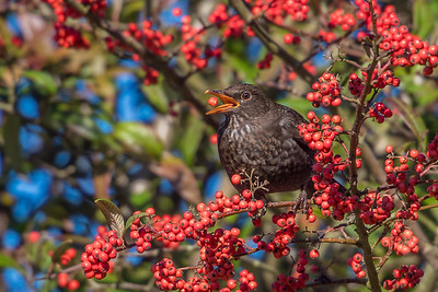 Ian Peters - The Blackbird and the Berry-61.jpg