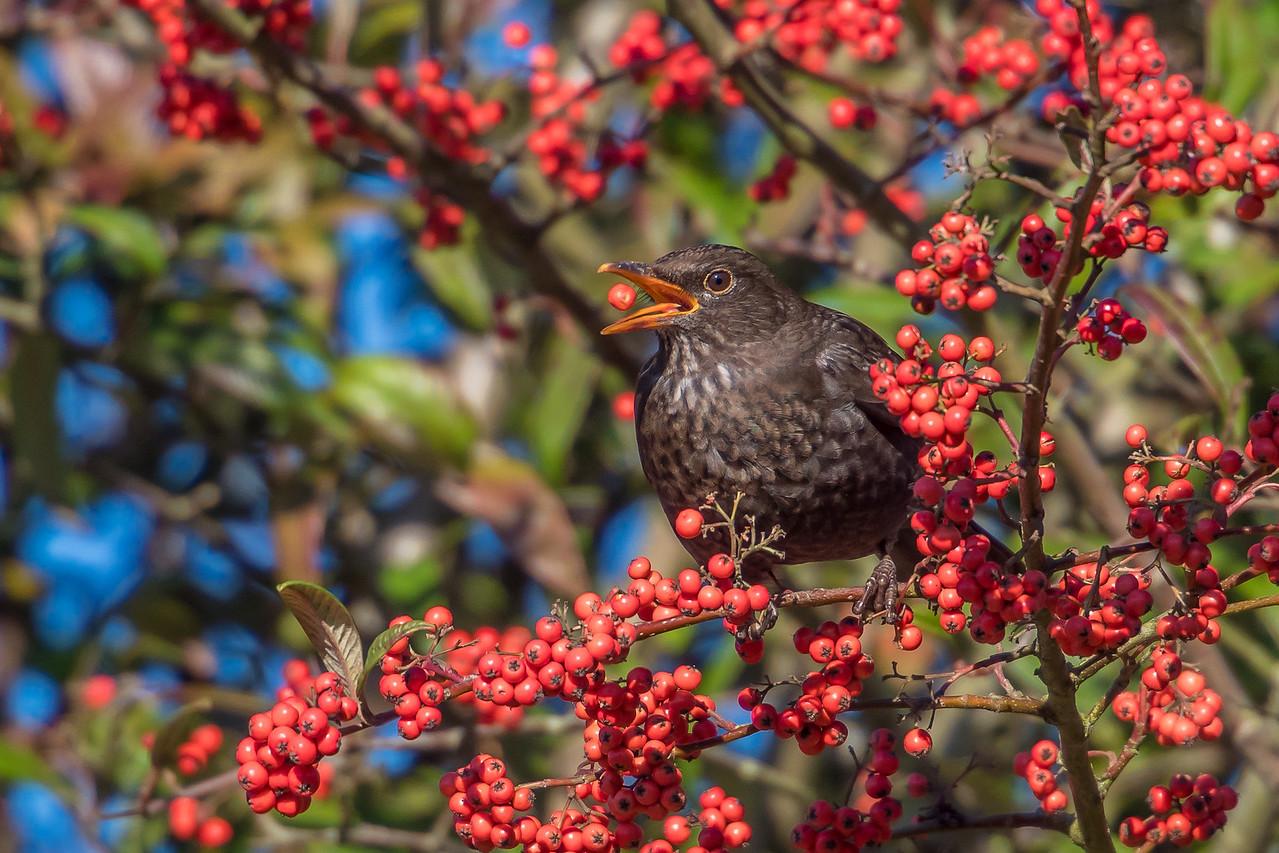 Ian Peters - The Blackbird and the Berry-61.jpg