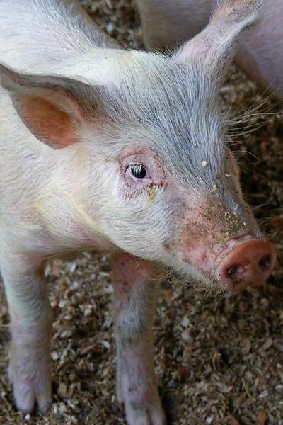 Piglet at Shelburne Farm