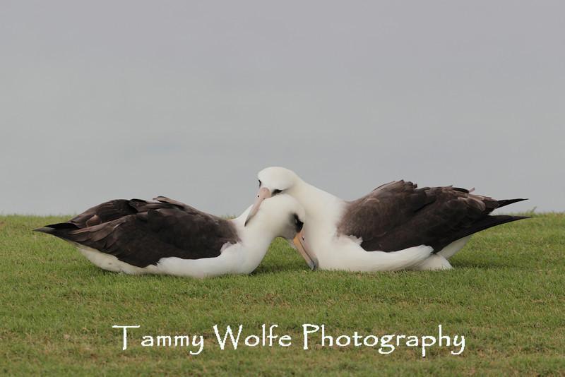 Laysan Albatross (Phoebastria immutabilis)