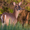 Deer @ Mount Loretto, Staten Island.  D810 with the Tamron 150-600 G2