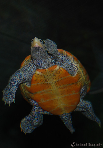 Northern Diamondback Terrapin - Adventure Aquarium, Camden, NJ