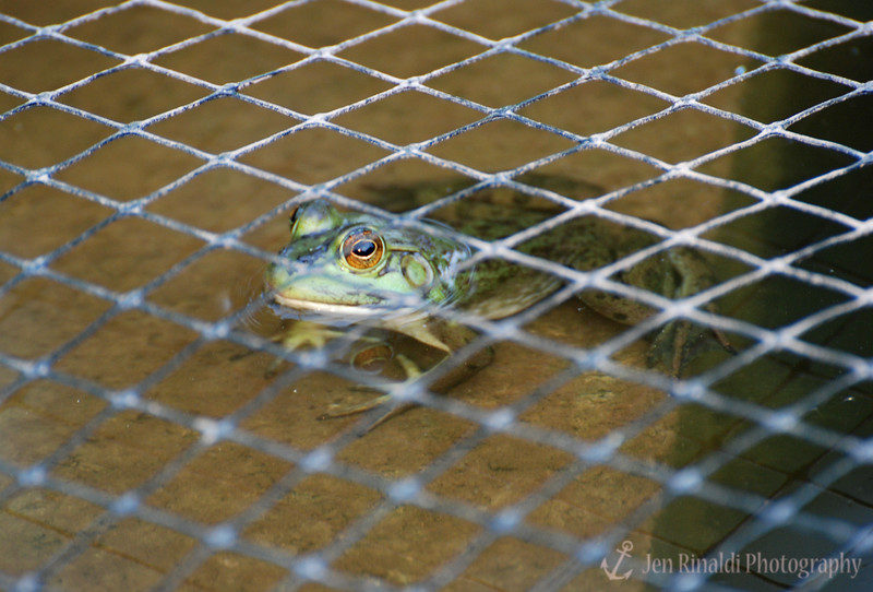 Frog in a pond - Colonial Park, Somerset NJ