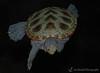 Northern Diamondback Terrapin - Adventure Aquarium, Camden, NJ
