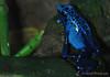 Poison Dart Frog (Dendrobates Sp.)