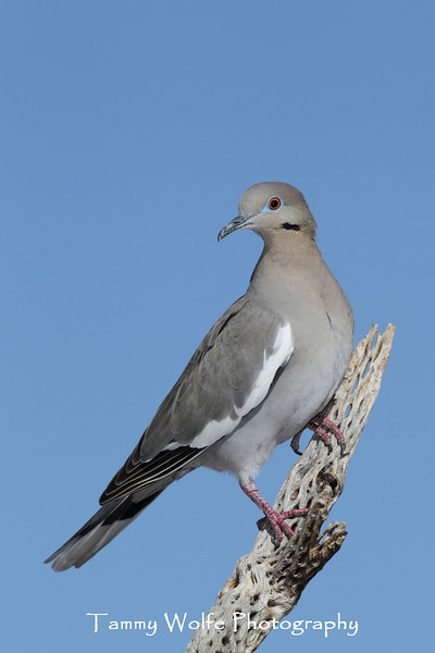 White-winged Dove (Zenaida asiatica)