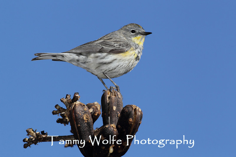 Yellow-rumped Warbler (Dendroica coronata)