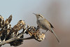 Bewick's Wren (Thryomanes bewickii) perching on Agave seed pod