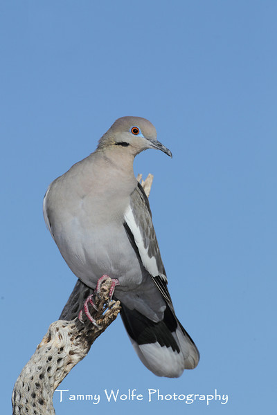 White-winged Dove (Zenaida asiatica) perching on Cholla Cactus Skeleton