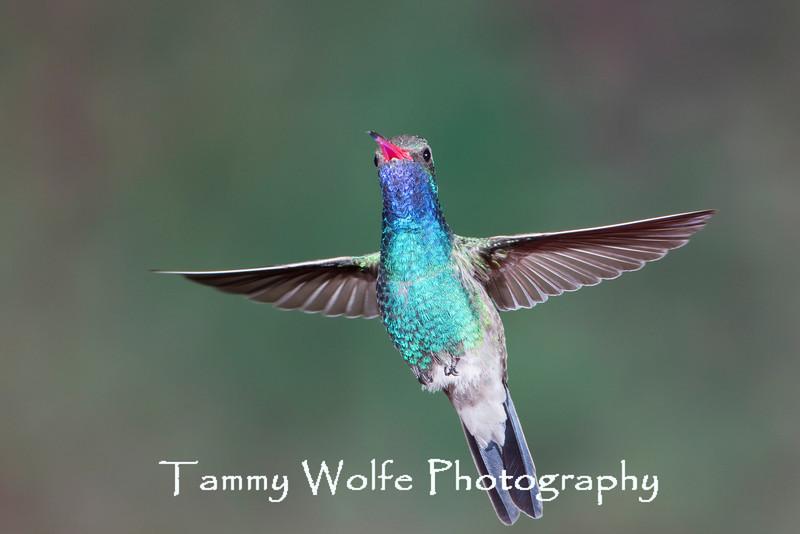 Broad-billed Hummingbird (Cynanthus latirostris)