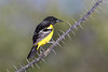 Scott's Oriole (Icterus parisorum)