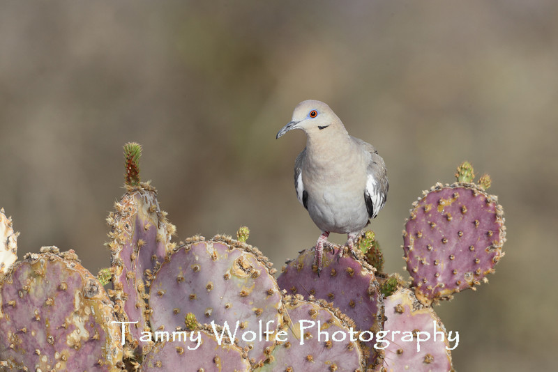 White-winged Dove (Zenaida asiatica) perching on Santa Rita Prickly Pear Cactus