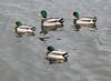 Mallard Ducks - Spring Lake, NJ