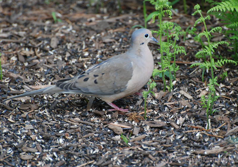 Mourning Dove - Colonial Park, Somerset, NJ