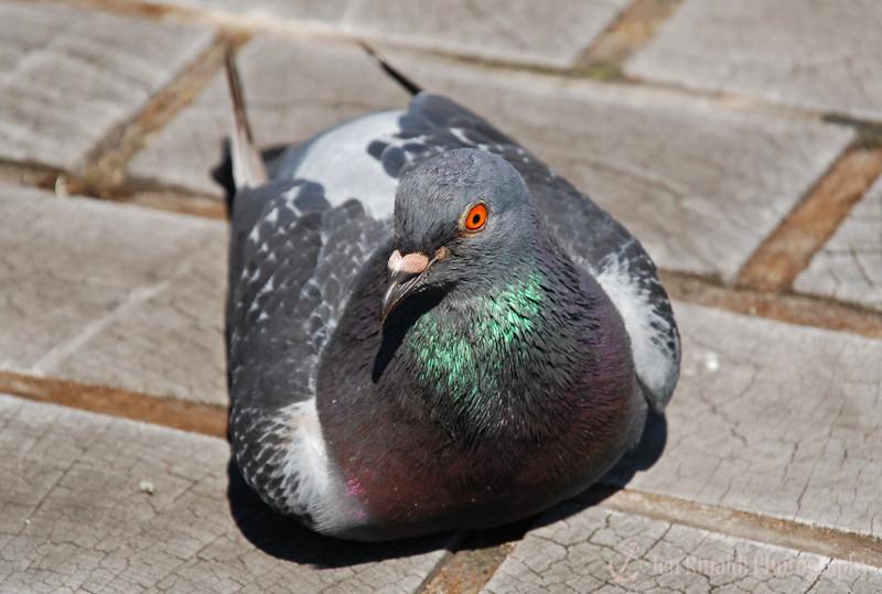 Pigeon - Liberty State Park, NJ