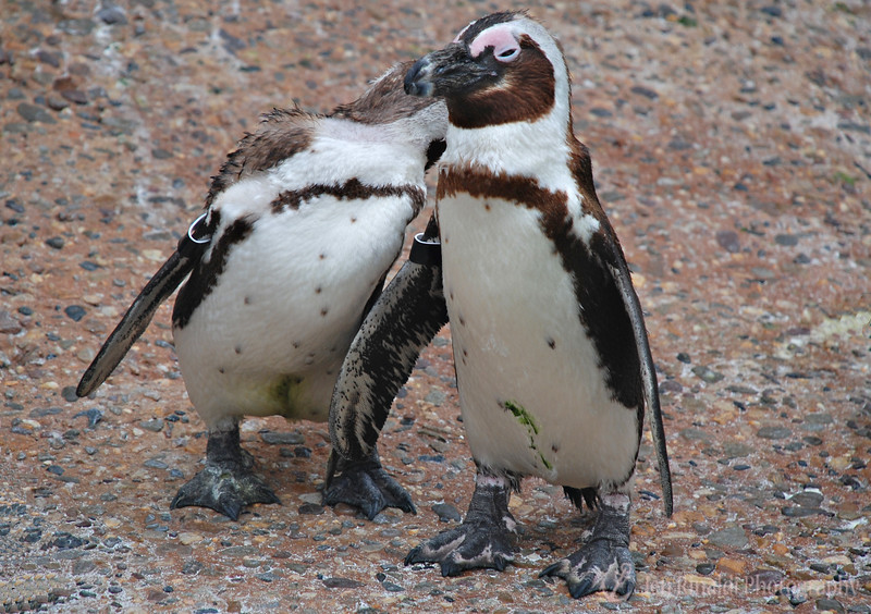 """Kiss & Tell"" - African Penguins, Adventure Aquarium, Camden, New Jersey"