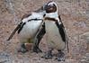 """""""Kiss & Tell"""" - African Penguins, Adventure Aquarium, Camden, New Jersey"""