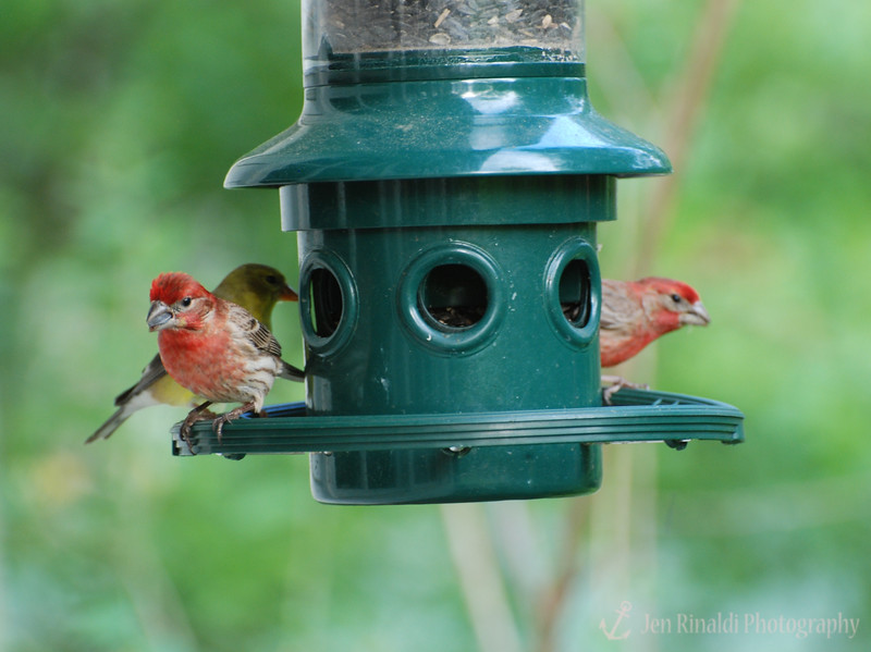 House Finches (male) - Colonial Park, Somerset, NJ