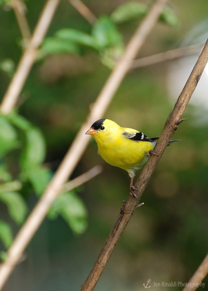 American Goldfinch (Male) - Colonial Park, Somerset, NJ