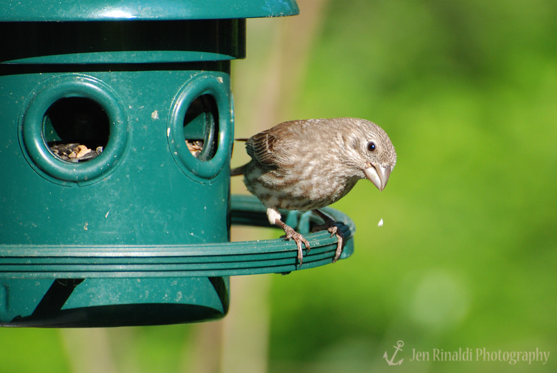 House Finch (female) - Colonial Park, Somerset, NJ