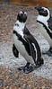 African Penguins - Adventure Aquarium, Camden, NJ
