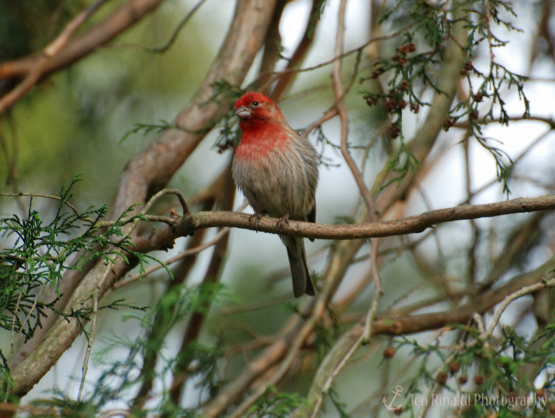 House Finch (male) - Colonial Park, Somerset, NJ