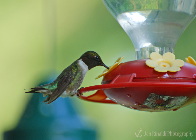 Hummingbird - Colonial Park , Somerset, NJ