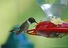 Hummingbird - Colonial Park , Somerset, NJ
