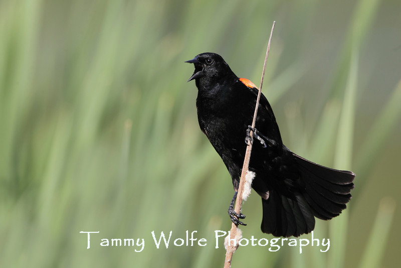 Red-Winged Blackbird (Agelaius phoeniceus), Male Singing