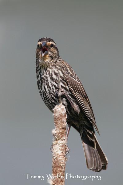 Red-Winged Blackbird (Agelaius phoeniceus), Singing Female