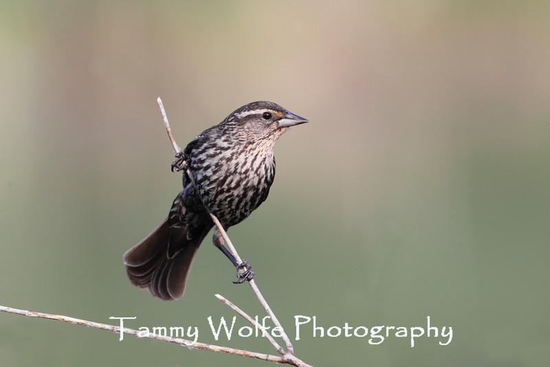 Female Red-Winged Blackbird (Agelaius phoeniceus)