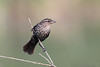 Female Red-Winged Blackbird (Agelaius phoeniceus)
