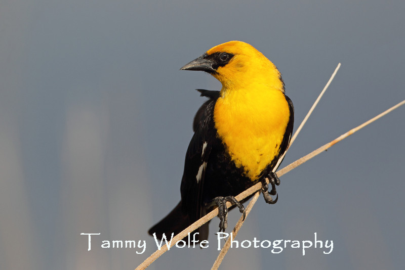 Yellow-headed Blackbird (Xanthocephalus xanthocephalus)