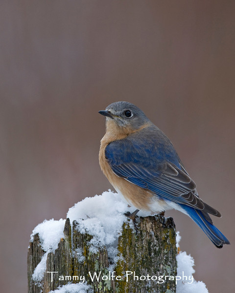 Eastern Bluebird (#0930)