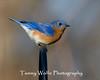 Eastern Bluebird (#0982)