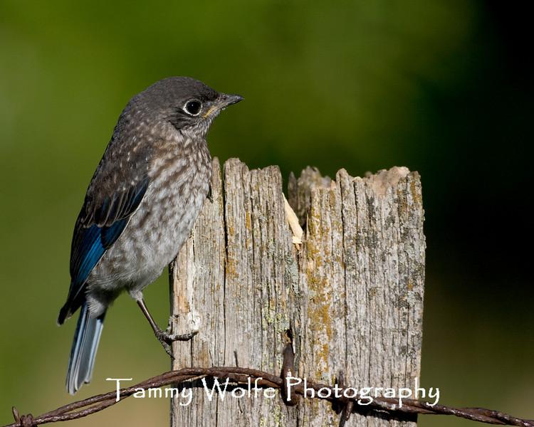 Eastern Bluebird Baby